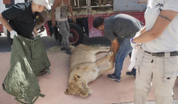 El circ també va donar un poni, un búfal i una llama Font: Fundació Primadomus