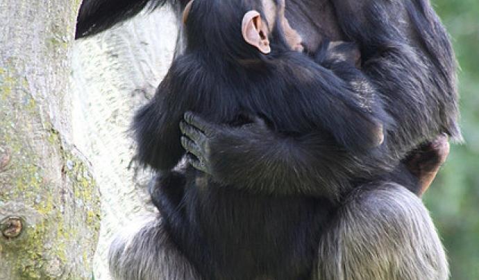 Ximpanzés Font: flickr.com