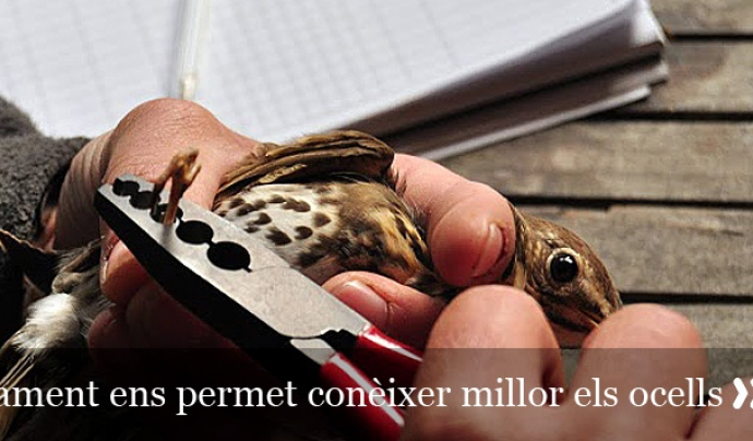 Són necessaris un o dos anys de pràctiques abans d'optar a ser anelladors o anelladores (imatge: ornitologia.org)