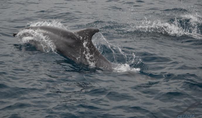 Al litoral català s'hi pot trobar vuit de les nou espècies de cetacis que hi ha al mar Mediterrani. Font: Associació Cetàcea
