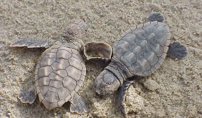 És molt important que les tortuguetes arribin a sortir de l'ou, ja que és una espècie en perill d'extinció. Font: CC