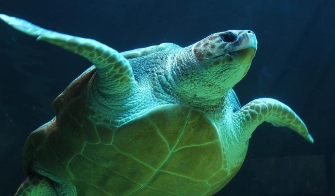 La tortuga babaua és la tortuga més present al Mar Mediterrani.  Font: CC