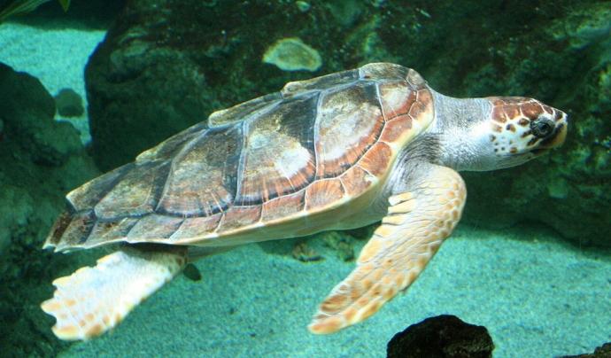 Les tortuges babaua són una de les tres espècies de tortuga que viuen al mediterrani. Imatge de Strobilomyces. Llicència d'ús CC BY-SA 3.0 Font: Strobilomyces. Llicència d'ús CC BY-SA 3.0