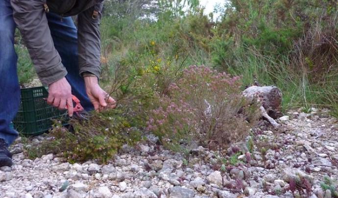 Tot el coneixement popular sobre les herbes remeieres han quedat recollides en una pàgina web. Imatge de Calafellvalo. Llicència d'ús CC BY-NC-ND 2.0 Font: Calafellvalo. Llicència d'ús CC BY-NC-ND 2.0