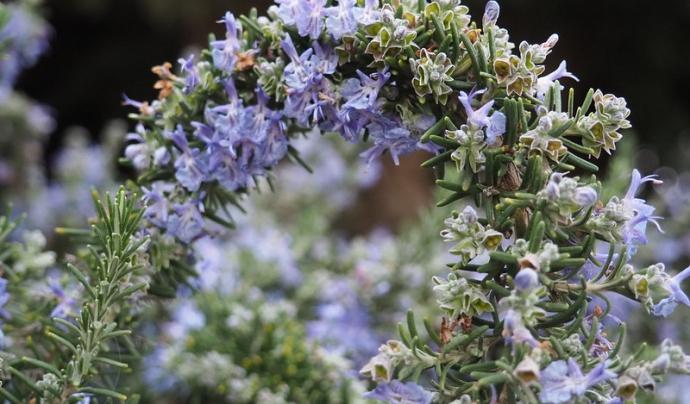 En la pàgina web també es podrà conèixer com utilitzar les plantes per usos ornamentals. Imatge de Teresa Grau Ros. Llicència d'ús CC BY-SA 2.0. Font: Teresa Grau Ros. Llicència d'ús CC BY-SA 2.0.