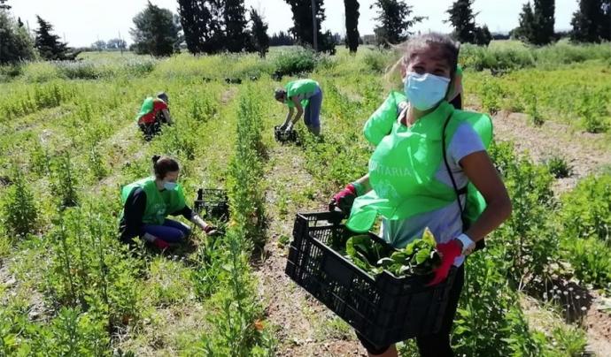 Persones voluntàries fan collita de verdures i hortalisses imperfectes amb l'entitat Espigoladors. Font: Espigoladors