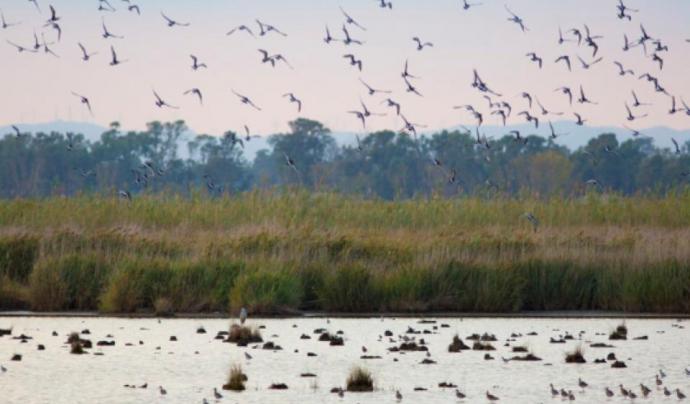 Aus volant i banyant-se a una llacuna al Delta de l'Ebre