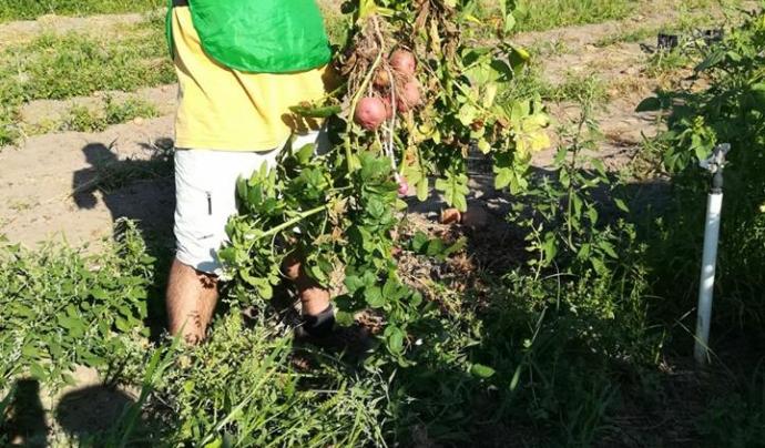 Les espigolades recuperen aliments que han estat cultivats però estaven destinats a esdevenir residus Font: Espigoladors