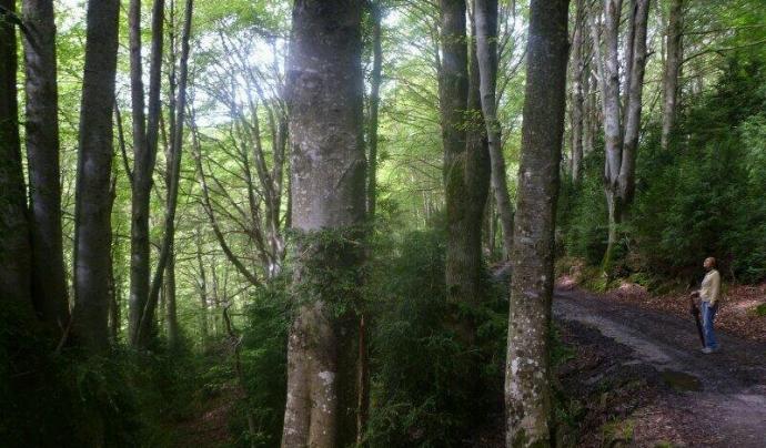 La superfície de bosc madur a Catalunya oscil·la entre el 5 i el 10%. Font: Associació Selvans