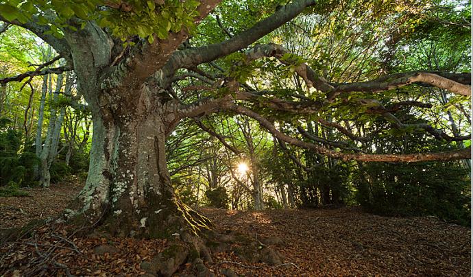 La fageda de Milany és un bosc madur d'alt valor ecològic Font: Joan Masdeu on flickr