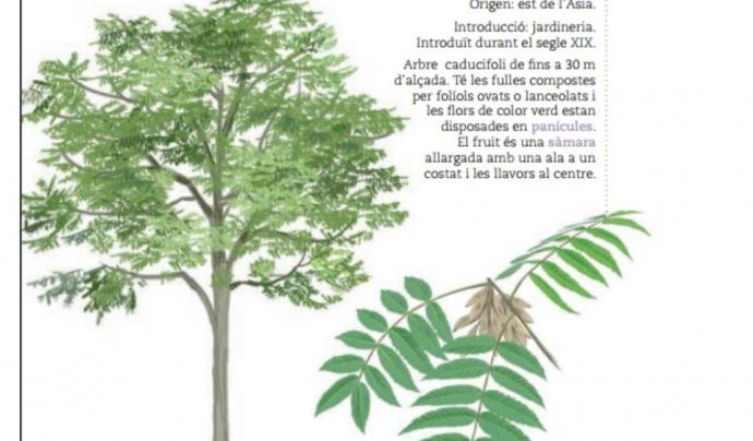 L'ailant és una espècie d'arbre invasor en  molts hàbitats, també  en el  bosc de ribera Font: Diputació de Barcelona