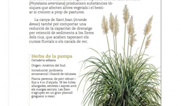 """La Cortaderia, coneguda com a """"herba de la Pampa"""", es va fer servir en jardineria i ha esdevingut una espècie invasora  Font: Diputació de Barcelona"""