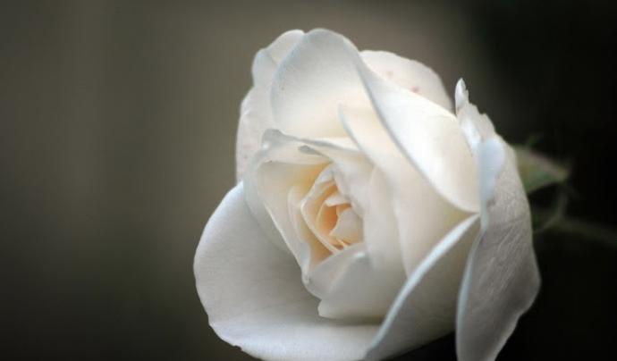 flor blanca dol