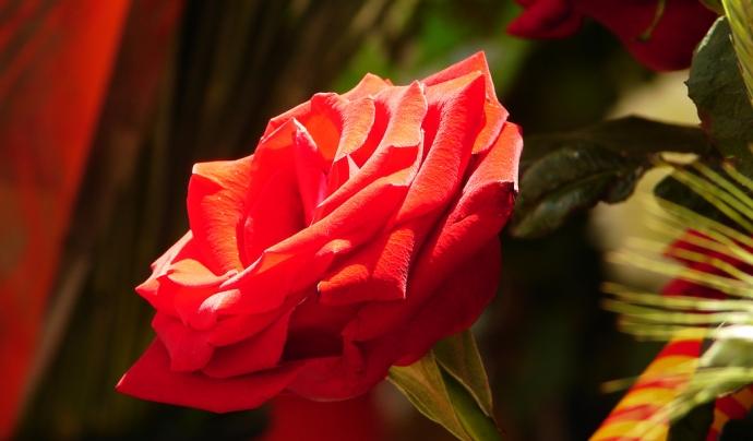 Per Sant Jordi vora 7 milions de roses es venen en un sol dia Font: flickr/LaliMasriera