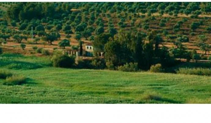 Oliveres centenàries de la finca de Mas Pitoia Font: Grup Natura Freixe