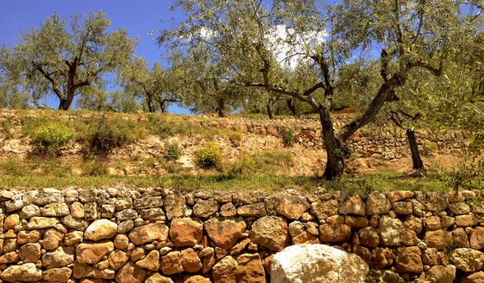 Projecte Olivar de muntanya i biodiversitat de l'Associació Trenca Font: Associació Trenca