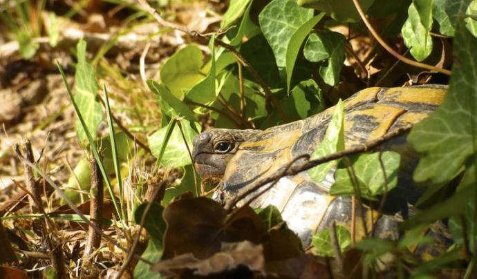 Projecte de reintroducció de la tortuga mediterrània Font: Associació Trenca