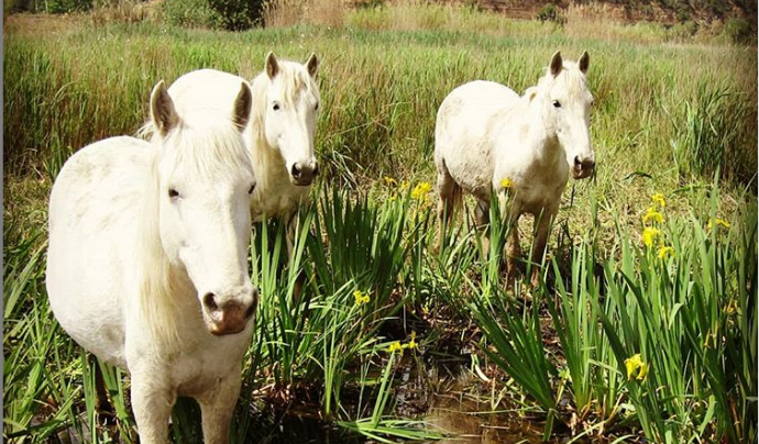 A l'espai es realitza una gestió activa per protegir la biodiversitat. Els cavalls de Camarga hi juguen un important paper ajudant a controlar algunes espècies invasores Font: Grup Natura Freixe