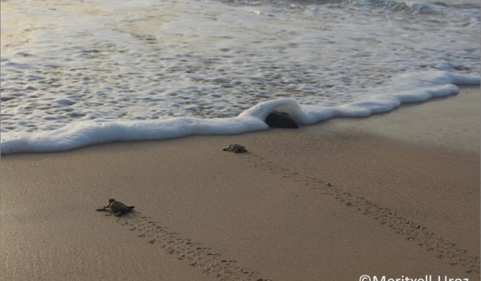 """El projecte de divulgació científica """"Caretta a la vista"""" de la UVic-UCC proporciona informació sobre la tortuga babaua a ciutadania i entitats ambientals  Font: Caretta a la vista"""