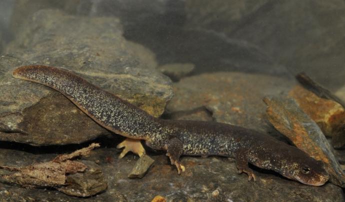 El tritó del Montseny, una de les espècies en perill d'extinció afectada pel fong. Font: Benny Trapp