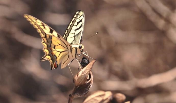 A Catalunya hi viuen 173 espècies en risc d'extinció al planeta, algunes papallones han perdut el 90% de la seva població.  Font: Observatori del Patrimoni Natural i la Biodiversitat