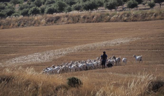 Pasturant la Cabra Catalana. Font: Bernat Casares