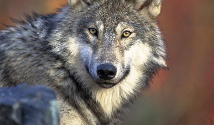 Les poblacions estables de llop es van extingir a Catalunya fa uns 100 anys. Les polítiques de conservació i recuperació han fet possible una lenta però constant recuperació a zones de la Península Ibèric, Itàlia i l'est i centre de França.(imatge: wikipe
