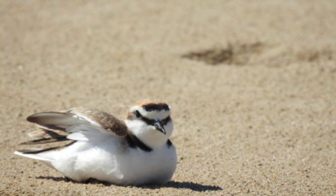 El corriol camanegre nidifica a les paltges.  Font: GEPEC-EdC