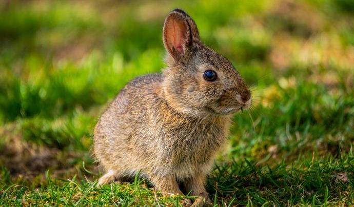 Els conills són un dels animals que han estat utilitzats per testar cosmètics. Font: CC
