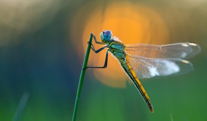 La biodiversitat com a font inspiradora de fotografies, com la libèl·lula de la imatge d' Eduard Marquès Mora, una de les seleccionades en 2015 (imatge: Eduard Marquès Mora)