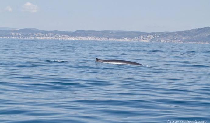 Rorqual albirat el 15 de maig en la sortida des de Vilanova (imatge: Gonzalo Jara per Associació Cetacea)