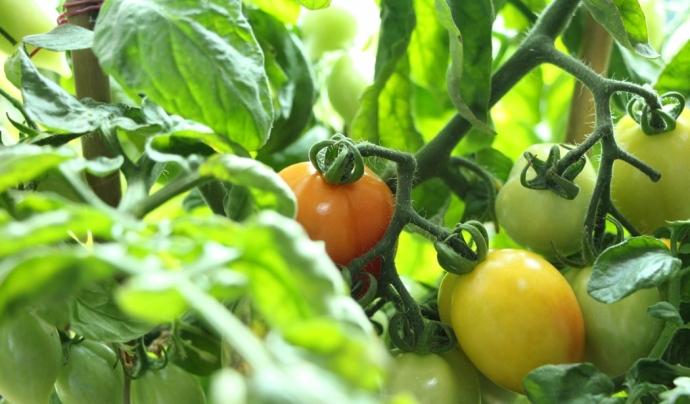 Es recol·lectarà fruita i verdura que no té sortida al circuit comercial per distribuir-la a entitats socials. Font: Unsplash. Font: Font: Unsplash.