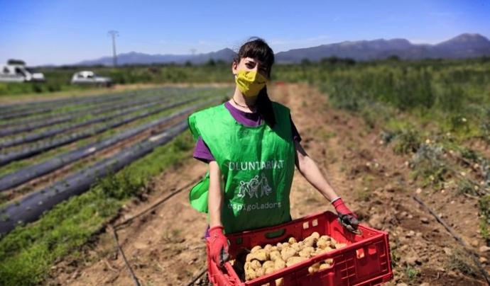 Una persona voluntària recull patates amb formes imperfectes al camp. Font: Espigoladors