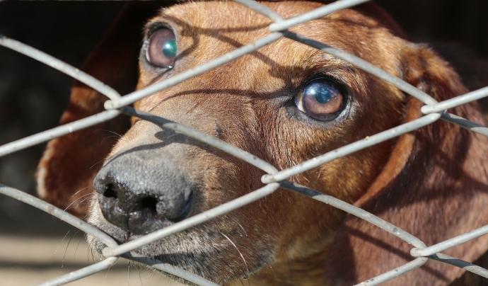 Es calcula que cada mes es comercialitzen 46.000 gossos entre els estats membres de la UE. Font: Llicència CC