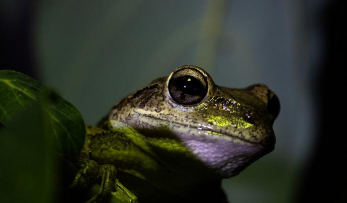 Els amfibis, els més afectats per aquest fong. Font: CC