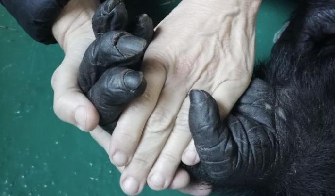 L'entitat va anunciar fa uns dies la mort d'en Toni, un dels ximpanzés del centre. Font: Twitter @FundacioMona