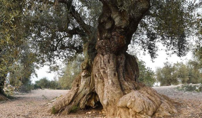 L'espectacular paisatge natural del sud de Catalunya el conformen especialment oliveres monumentals com aquesta. Font: GEPEC