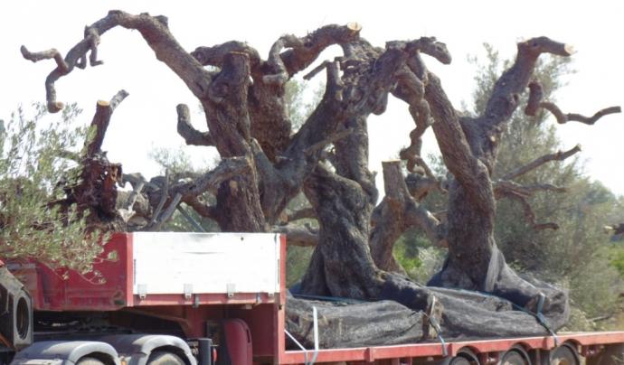 Moltes de les oliveres son tallades per deixar-les amb el mínim per sobreviure, però sovint no ho aconsegueixen. Font: GEPEC