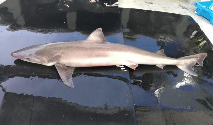 La sobrepesca i les captures accidentals amenacen les poblacions de taurons. Font: Ignasi Nuez /SUBMON
