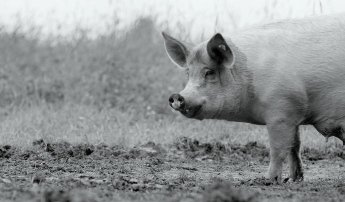 El llargmetratge documental 'Gunda' és la història d'una truja i la seva vida a una granja. Font: Festival Protesta