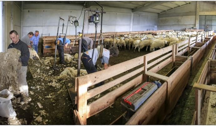 Esquilant les ovelles Font: Obrador Xisqueta