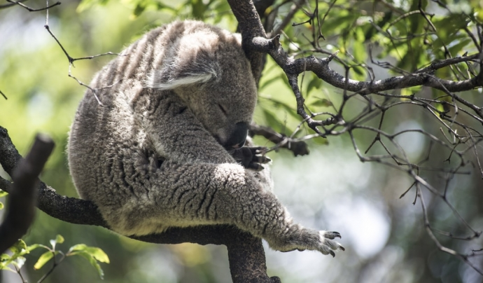 El 80% de les espècies d'Austràlia són endèmiques, algunes de les quals estan en perill d'extinció. Font: Unsplash. Font: Font: Unsplash.