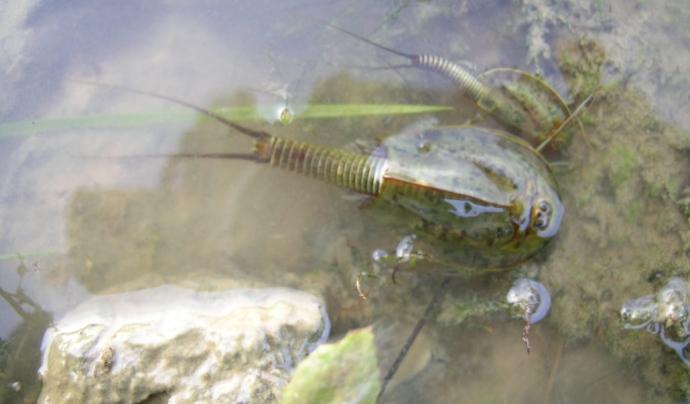 Els triops són una espècie protegida (imatge: limnos.org)