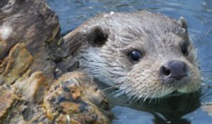 La llúdriga és una espècie protegida de la fauna salvatge autòctona (imatge: Jordi Ruiz Olmo)