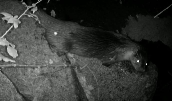 La supervivència de les dues cries és un fet molt rellevant per la consolidació de l'espècie a la conca del Besòs. Font: Fundació Rivus