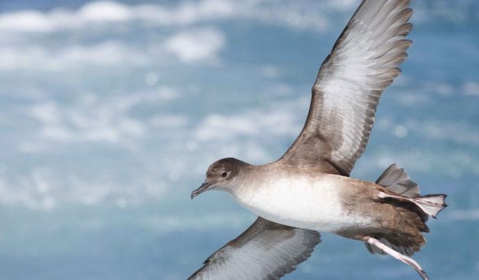 Les observacions d'aus marines fetes en el mar són molt valuoses perquè encara són escasses (imatge: Pep Arcos)