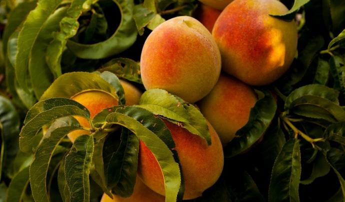 El préssec és una de les fruites que més els afecta la baixada de preus. Font: CC