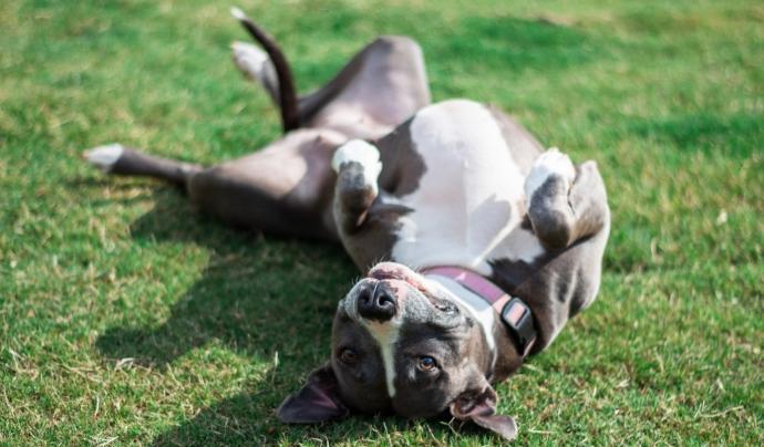 Durant l'estiu, han pujat les adopcions de gossos potencialment perillosos. Font: Unsplash. Font: Font: Unsplash.