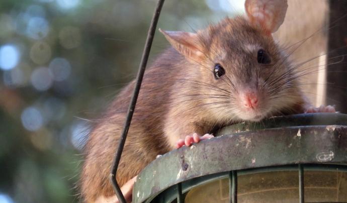 Les rates són una de les poques espècies abundants a les ciutats. Font: CC