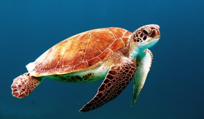 Degut al canvi climàtic, l'espècie Caretta Caretta a hagut de buscar noves zones de nidificació. Font: Unsplash. Font: Font: Unsplash.